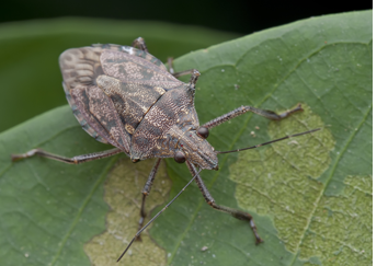 pennsylvania stink bug pest control