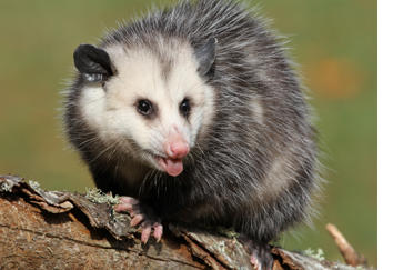Opossum Removal Montgomery County Pa Opossum Control