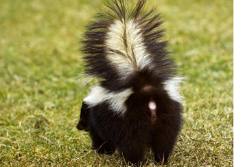skunk removal exclusion pennsylvania