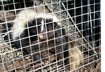 skunk trapping pennsylvania