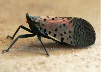 spotted lanternfly pest control west chester PA