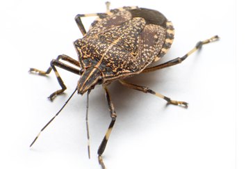 stink bug pest control pennsylvania