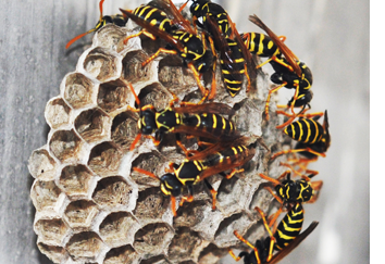 paper wasp pest control PA